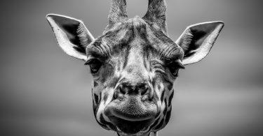kahve-falı-zürafa